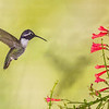 Costa's Hummingbird-1166