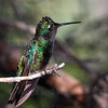 Magnificent Hummingbird-4141-Edit-Edit