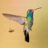Broad-billed Hummingbird with bee-8387