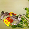 Hummingbirds at the trough-2577