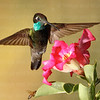 Magnificent Hummingbird-8438-Edit