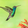 Broad-billed Hummingbird-9188