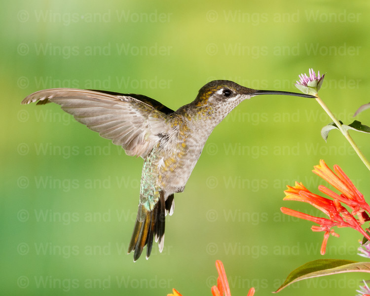 Magnificent Hummingbird-8805