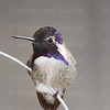 Costa's Hummingbird-4204
