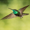 Magnificent Hummingbird-8200