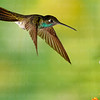 Magnificent Hummingbird-8894