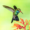 Broad-billed Hummingbird-9155