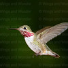 Calliope Hummingbird-3361-3361-Edit-Edit