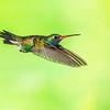 Broad-billed Hummingbird-9279