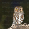 elf owl-3119-Edit