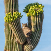 Great Horned Owl in Saguaro-7900