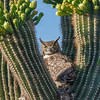 Great Horned Owl in Saguaro-7904-Edit-2