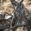 Long-eared Owl-8548-Edit