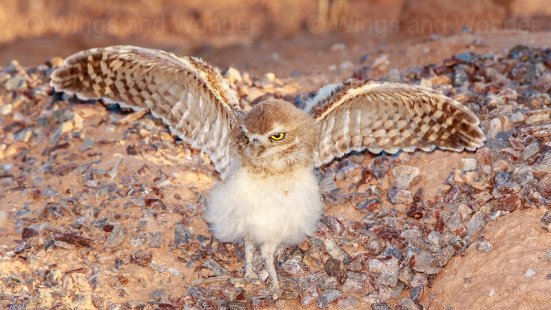 Burrowing Owl - juvenile-6955