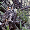 Long-eared Owl-7765