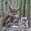Great Horned Owl and nestling-9777-ww-2
