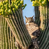 Great Horned Owl in Saguaro-7900-Edit