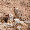 Barn owl pair-4725
