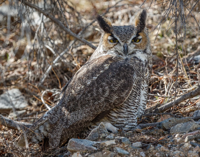 Great-horned Owl-6126-Edit-3-Edit