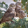 Burrowing Owls-2824-Edit-2