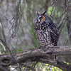 Long-eared Owl-4914