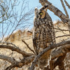 Long-eared Owl-8302-Edit