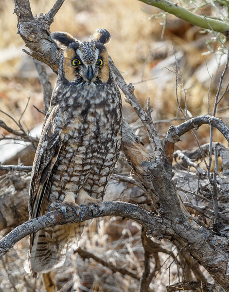 Long-eared Owl-8540