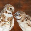 Burrowing Owls-7529