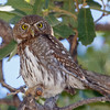 Northern Pygmy Owl-4504-Edit-Edit
