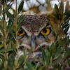 Great Horned Owl-4227-Edit
