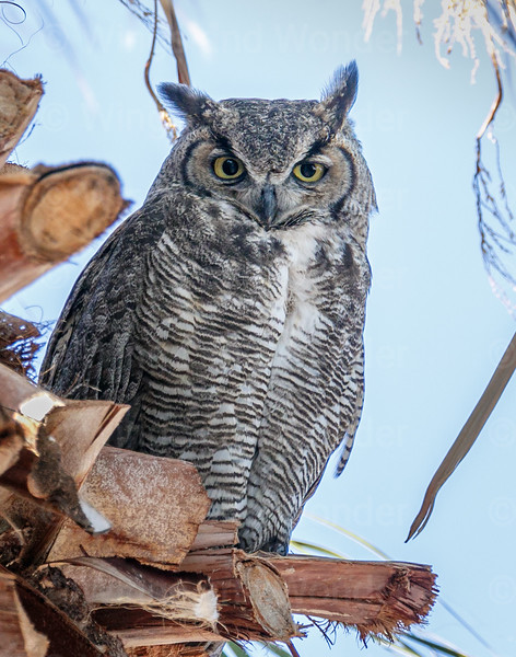 Great Horned Owl mother-4529-Edit