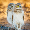 Burrowing Owl Juvenile pair-6896