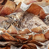 Great-horned Owl fast aslee-3759