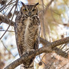 Great Horned Owl-7341-Edit-2-Edit