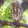 Ferruginous Pygmy-Owl-2860-Edit