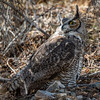 Great-horned Owl-6120-Edit-2-Edit