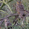 Long-eared owls-4972