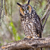 Long-eared Owl-4939