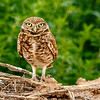 Burrowing Owl-1771-Edit-2