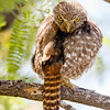 Ferruginous Pygmy-Owl turning-2773
