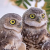 Burrowing Owls-2828-Edit-2