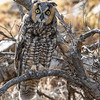 Long-eared Owl-8443