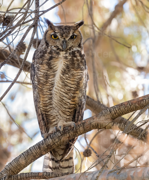 Great Horned Owl-7341-Edit-2