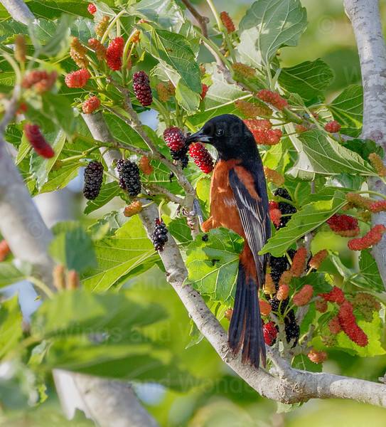 Orchard Oriole-3856-Edit-2