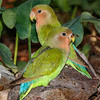 Peach-faced Lovebird adult and juvenile.