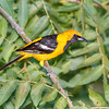 Hooded Oriole-9363-Edit-2