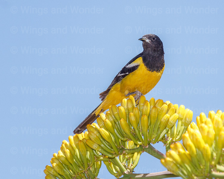 Scott's Oriole-6102-Edit-2