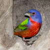 Painted Bunting-4367-Edit