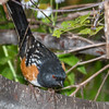 Spotted Towhee-6351-Edit-2