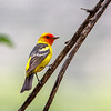 Western Tanager-3819